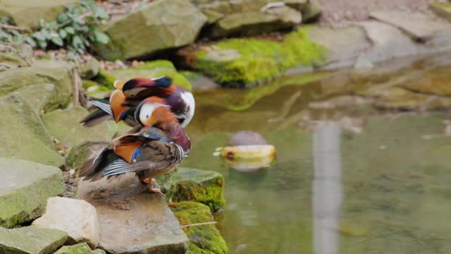 Mandarin Duck carefully cleans feathers video