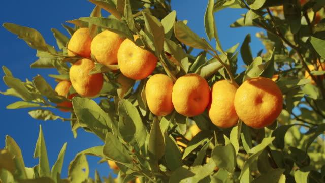 Mandarijn op de boom in een tuin. Oogsten kleurrijke Citrus video