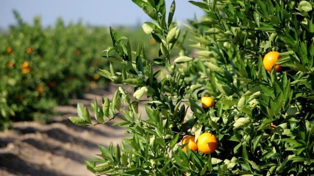 Mandarin orange plantation with ripe citrus fruits Orange branches with ripe oranges citrus fruit videos stock videos & royalty-free footage