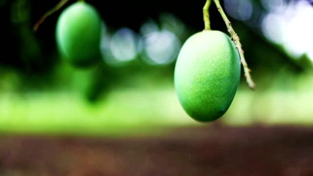 mango fruit garden - haryana video stock e b–roll