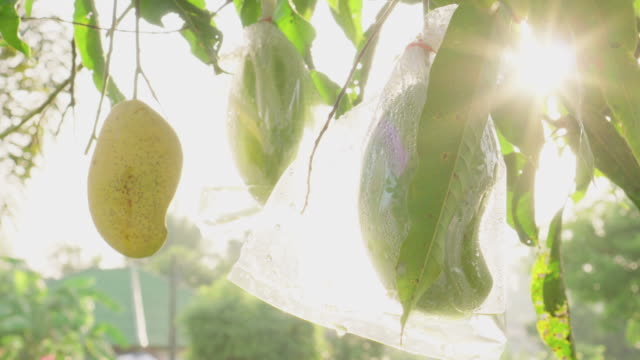 Mango packed in plastic bags for prevent insect pests with sunbeam.