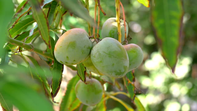 mango tree in 4k slow motion 60fps - obszar zadrzewiony filmów i materiałów b-roll