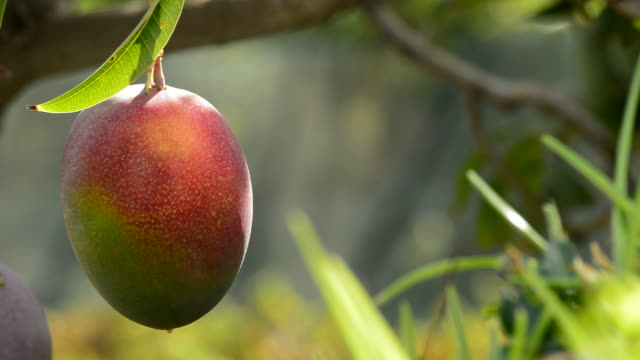 Mango tropical fruit hanging at tree in a plantation of tropical fruits