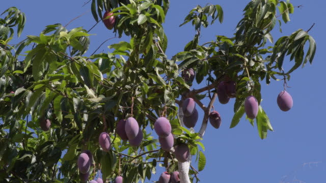 Mangoes fruit hanging in a branch of a mango tree a sunny day Mangoes fruit hanging in a branch of a mango tree a sunny day mango stock videos & royalty-free footage