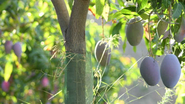 Mangoes hanging in a branch of a mango tree at sunset Mangoes hanging in a branch of a mango tree at sunset mango stock videos & royalty-free footage