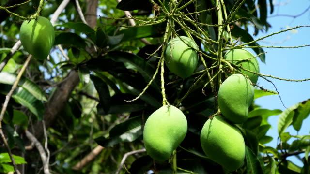 Mangoes on mango tree video