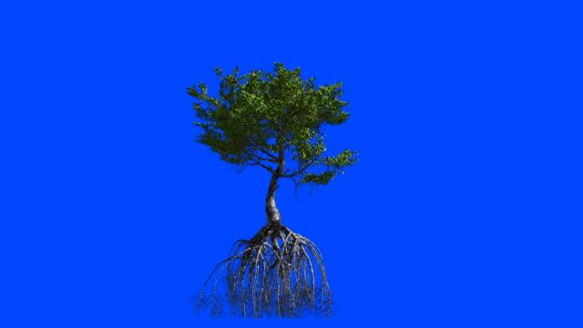 vidéos et rushes de palétuviers dont les racines. animation 3d. alpha de l'écran bleu. - arbre tropical