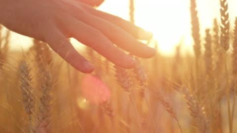 slow motion la mano dell'uomo accarezza le piante di grano dorato maturo allo splendido tramonto - campo video stock e b–roll