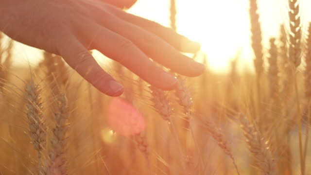 slow motion man's hand caressing ripe golden wheat plants at gorgeous sunset - stan naturalny filmów i materiałów b-roll