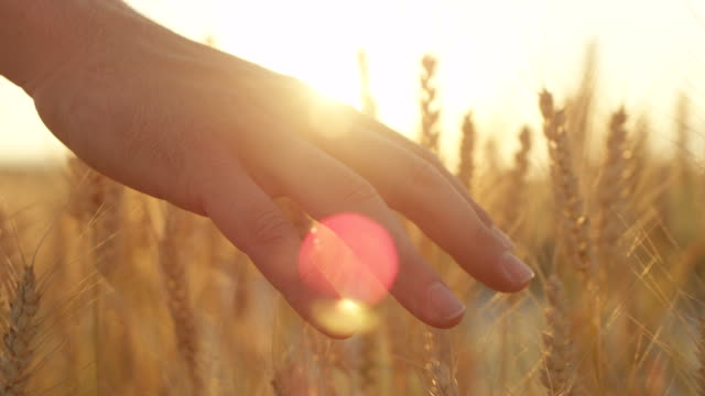 SLOW MOTION Man's hand caressing ripe yellow wheat plants at amazing golden dusk