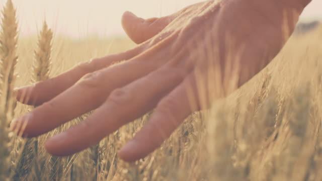 SLO MO Man's hand touching wheat ears