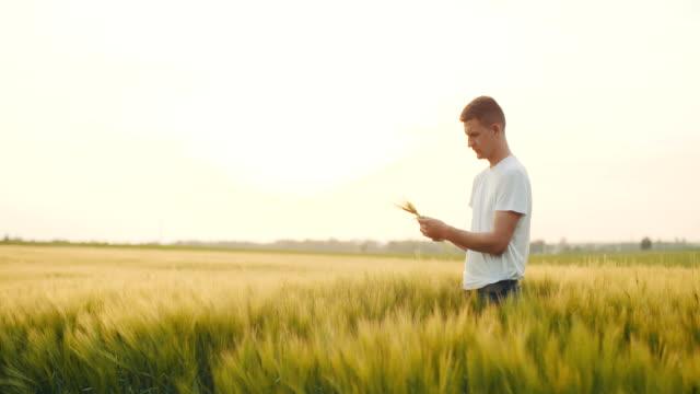Man's hand touching wheat. video