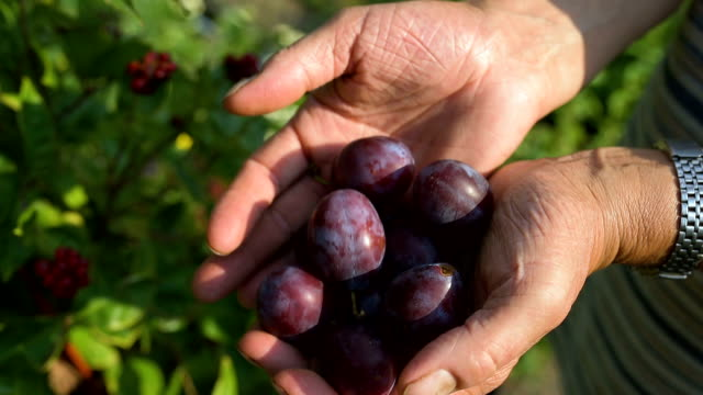 Man's hands filed with ecological mature Hungarian plum Man's hands filed with ecological mature Hungarian plum, in the glare of the afternoon sun. plum stock videos & royalty-free footage