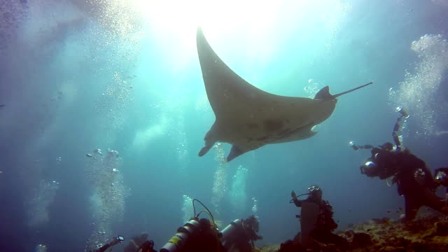 Manta ray and divers relax in sun underwater in ocean Maldives. Manta ray and divers relax in sun underwater in ocean Maldives. Sea dweller in search of food. Stingray feeds on mollusks and small fish. Amazing and exciting diving in marine life. diving to the ground stock videos & royalty-free footage