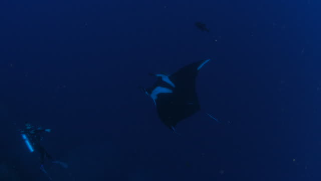 Manta ray flying undersea video