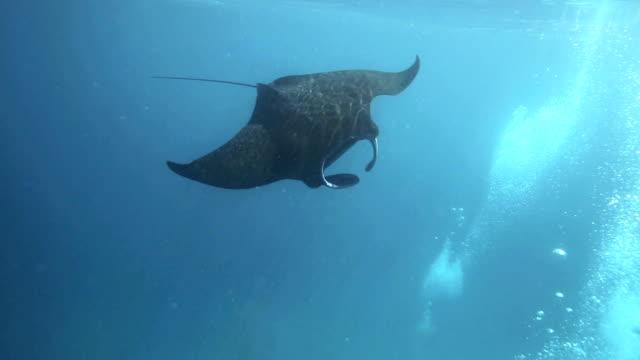 vidéos et rushes de raie manta dans l'archipel raja ampat - nageoire caudale