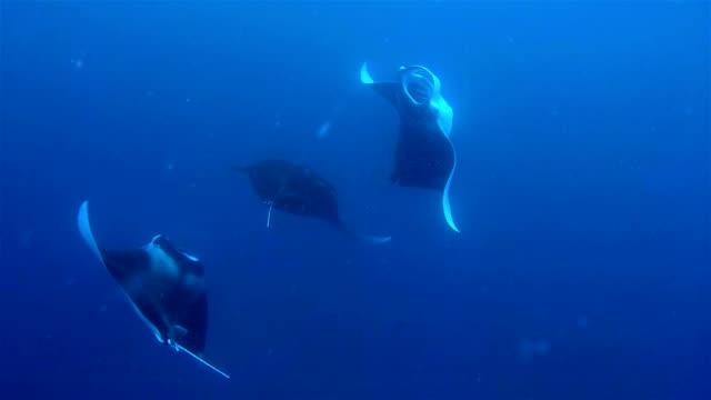 Danse Accouplement raies Manta/copulation sur les Maldives. - Vidéo