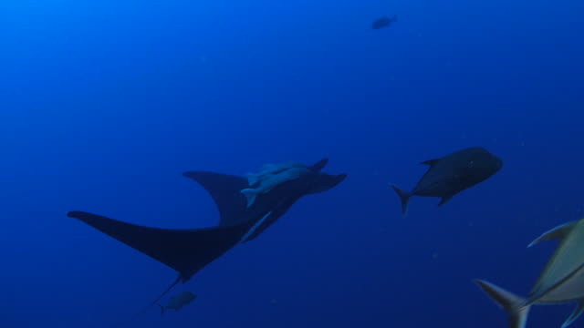 Manta ray swimming in the reef video