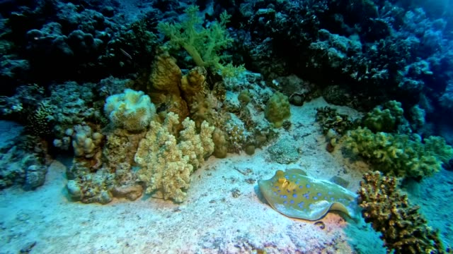 Manta ray. Underwater scenery