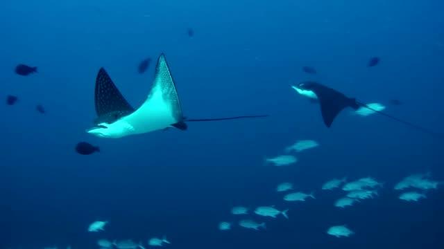 マンタ。水中風景 - 動物の身体各部点の映像素材/bロール