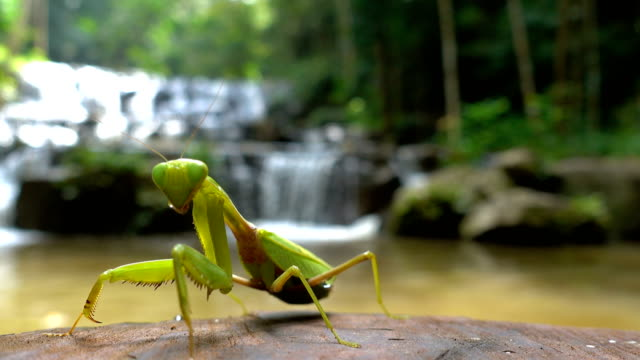 mantis böcek yeşil yağmur ormanlarında ahşap günlük üzerinde - hayvan avlama stok videoları ve detay görüntü çekimi