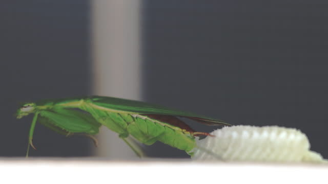 Mantis life cycle video