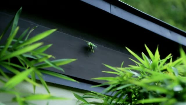 Mantis on the wall with green leaf Mantis on the wall with green leaf blade of grass stock videos & royalty-free footage