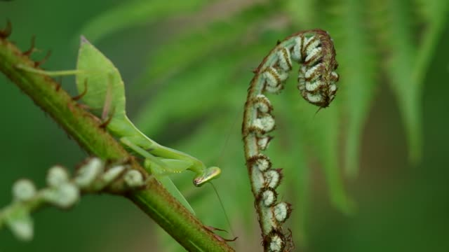 mantis on young fern branch video