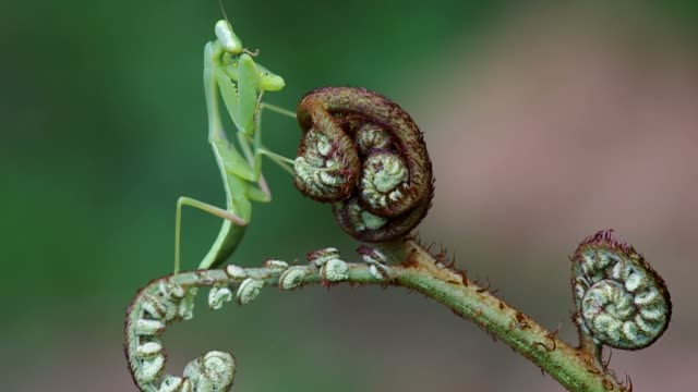 mantis on young fern branch