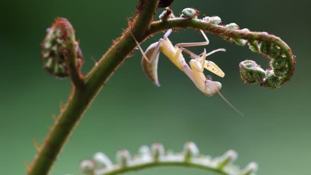 mantis under the fern shoot