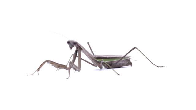 mantis - djurarm bildbanksvideor och videomaterial från bakom kulisserna