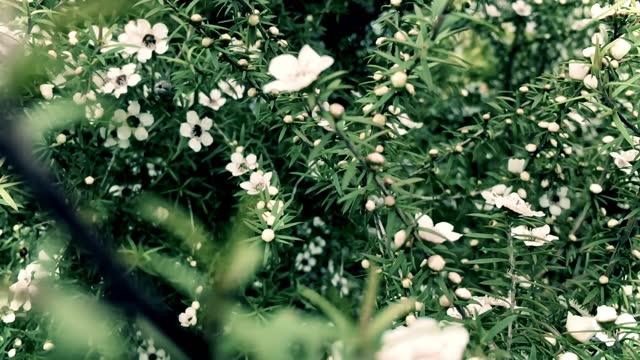 Manuka (Leptospermum scoparium) Tea Tree Flowers