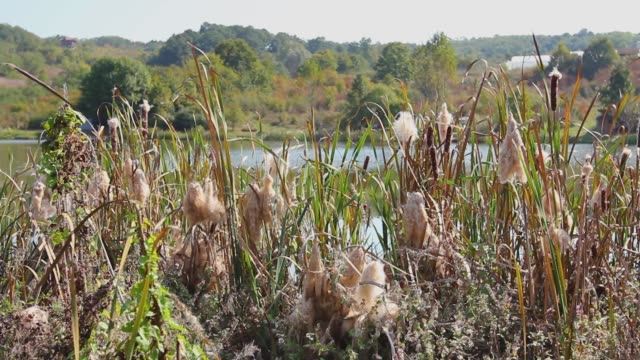 Many adult cattails are dispersal seed on autumn breeze day, reproduction