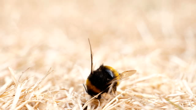 Many ants and dead bumblebee Group of ants found dead insect, bee, bumblebee on the dried grass during dry period and examining its body for food dead animal stock videos & royalty-free footage