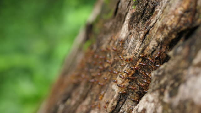 Many ants marching on dead trees. - video