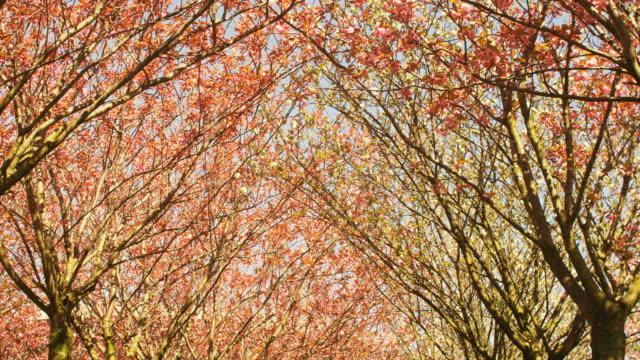 Viele schöne japanische Kirschbäume blühenden im Frühling in Amsterdam – Video