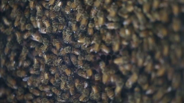 vidéos et rushes de beaucoup d'abeilles dans une ruche d'abeilles - apprivoisé