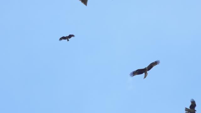 Many black kites and hawks flying in blue sky Many black kites and hawks flying in blue sky. Fukuoka, Japan hawk bird stock videos & royalty-free footage