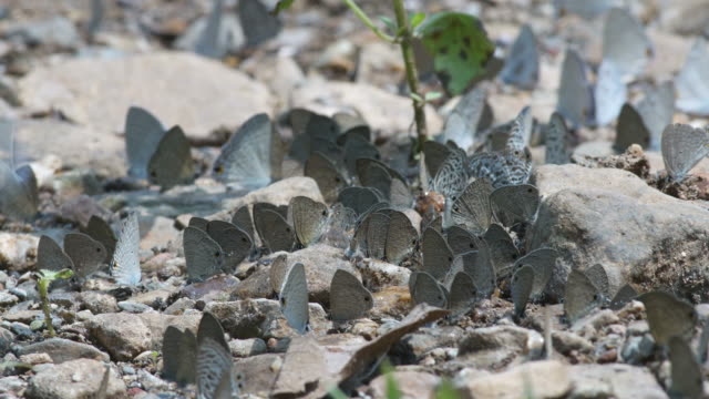 many butterflies drinking mineral from ground video