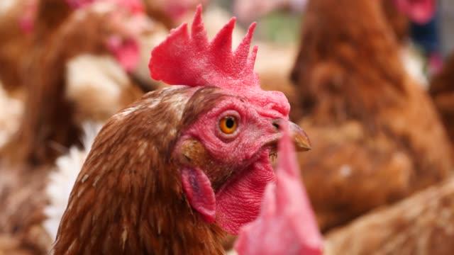 vídeos de stock, filmes e b-roll de muitas galinhas estão correndo ao redor - ave doméstica