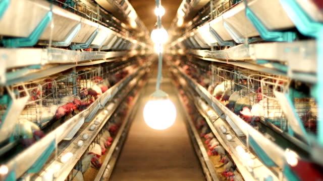Many Chiken inside modern poultry farm video