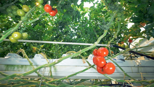 Many clusters of red and green tomatoes are entwining with each other and around greenhouse equipment