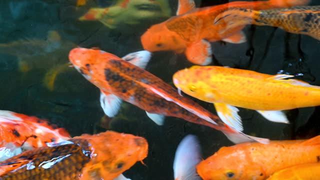 stockvideo's en b-roll-footage met veel kleurrijke karpervissen zwemmen gelukkig in de vijver. de charme van de fancy karper vis is de kleur en de unieke patronen. - carp