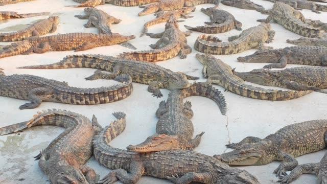 Many crocodile in the zoo.
