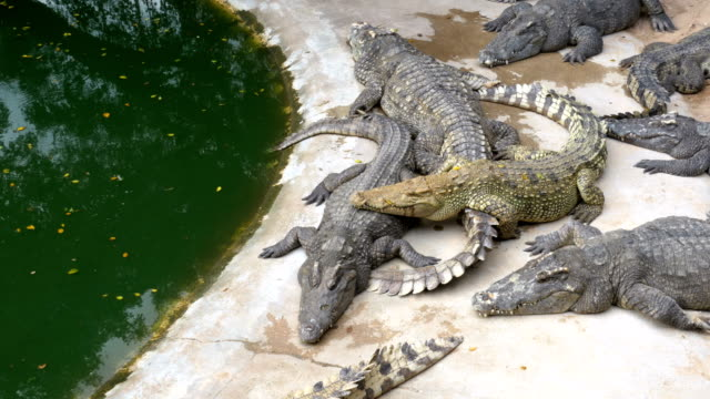 Many Crocodiles Lies near the Water of Green Color. Muddy Swampy River. Thailand. Asia video