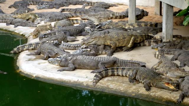birçok timsahlar yeşil renk su yakınında yatıyor. çamurlu bataklık nehir. tayland. asya - etçiller stok videoları ve detay görüntü çekimi