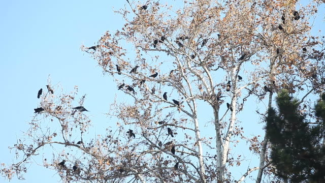 many crows vocalize in a tree - appollaiarsi video stock e b–roll