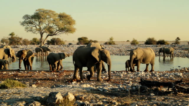 Many Elephants Drinking at Watering Hole video