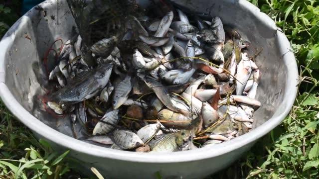 stockvideo's en b-roll-footage met veel zoetwatervissen werden gegoten uit het visnet - carp
