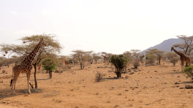 乾燥する季節の木々 や茂みの近くサンブル予備の多くのキリンを非表示します。 - 乾燥点の映像素材/bロール